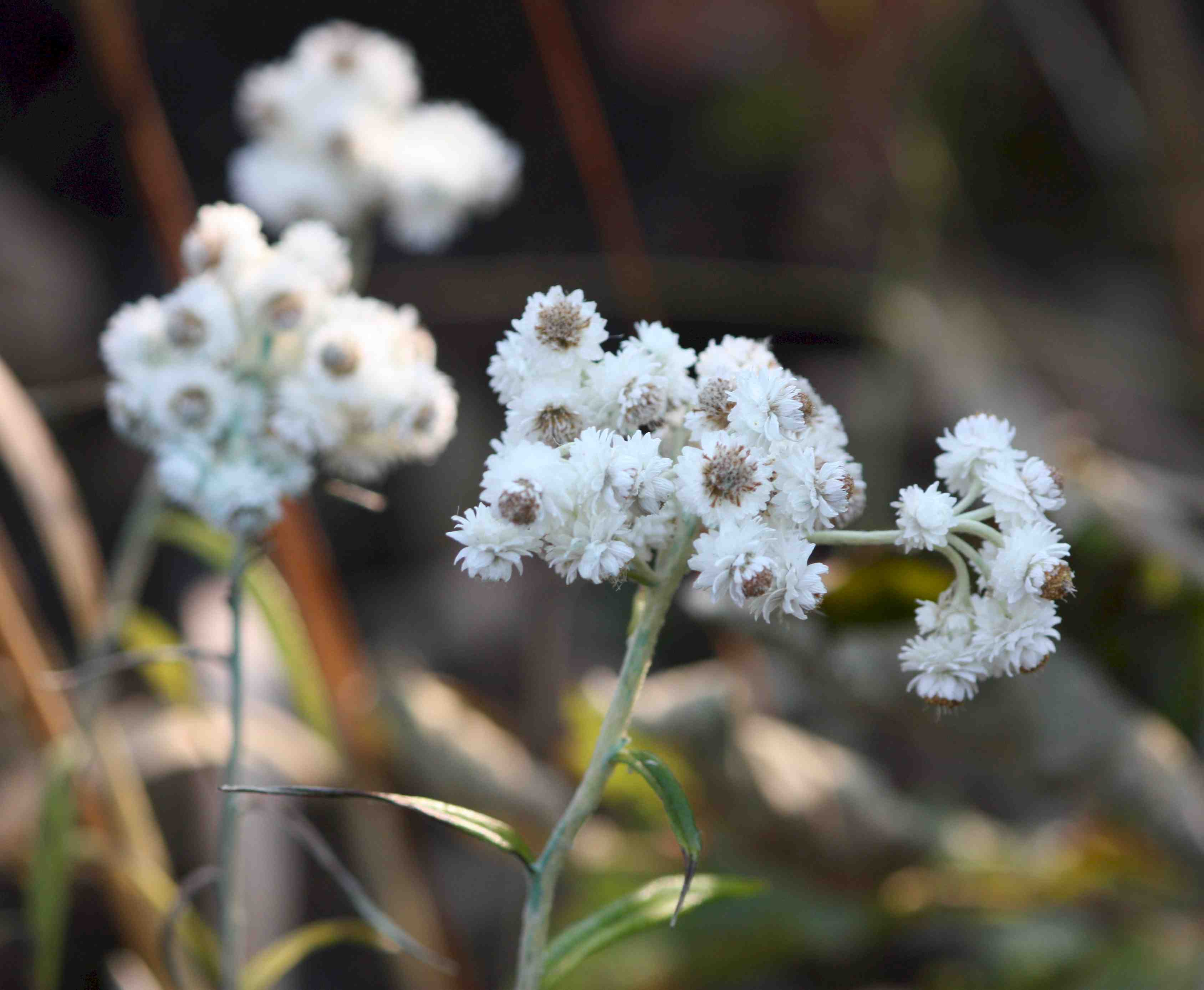 pearly everlasting flowers I think